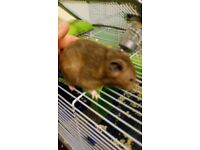 Gorgeous sable baby hamster for sale