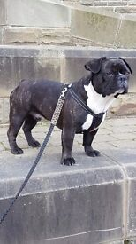 15 MONTHS OLD MALE BOY CROSS FRENCH / OLD TYME BULLDOG