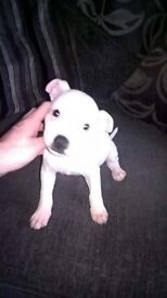 pure white bullstaff bitch 8 weeks old ready to go