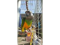 Senegal Parrot, cage and accessories