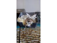 Russian dwarf hamster + cage