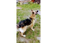 German shepherd 4 year old bitch