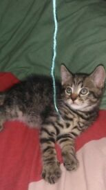 3 tabby kittens for sale ready for their loving home now