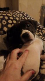 Staffordshire bull terrier puppies girl