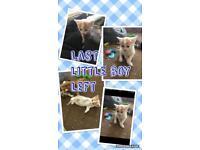 Little ginger and white kitten Male 💙