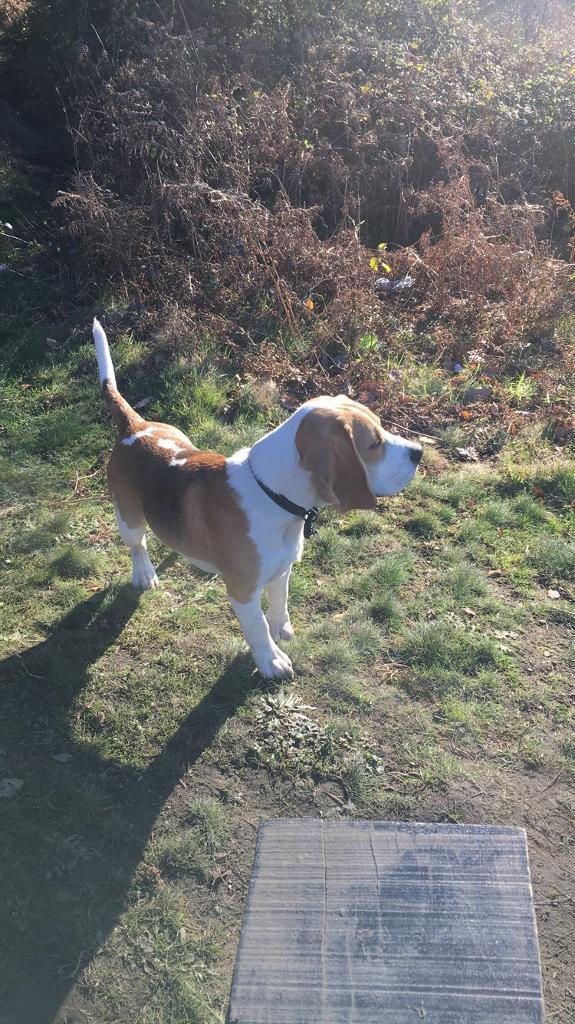 Beagle 10 months old