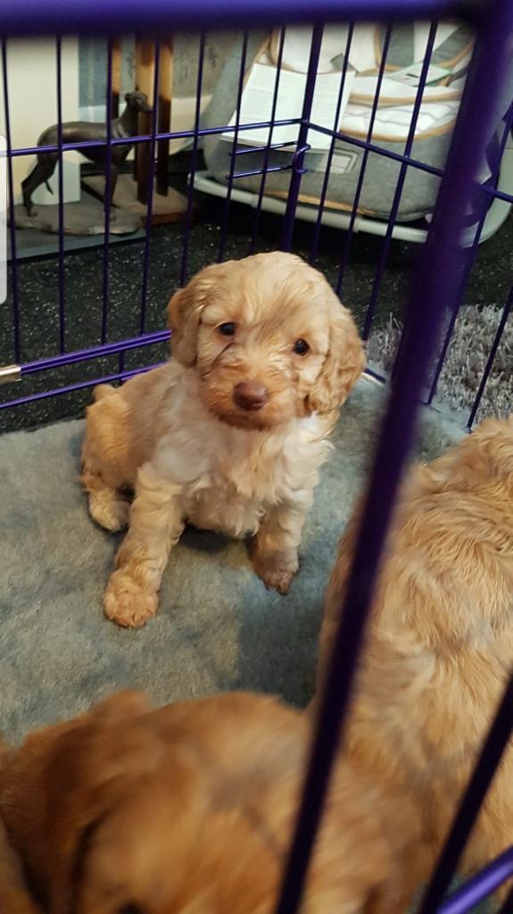 Stunning cockapoo puppies | in Dudley, West Midlands | Gumtree