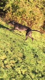 Greyhound 3yr old boy