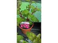 Snow Cap Fuchsia Hardy young plants Collection Only