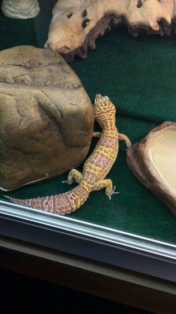 Geckos for sale