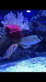 """4"""" Fox rabbit marine fish for reef fish tank aquarium Leicester"""