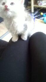 9 Week old kitten for sale