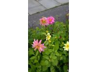 FOR SALE BEDDING PLANTS DAHLIA