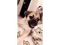 Gorgeous puggle (pug&beagle mix) for sale