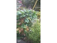 mahonia plant,