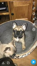 Top quality French bulldog puppies KC REG