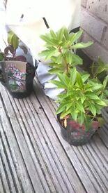 Pieris Plants