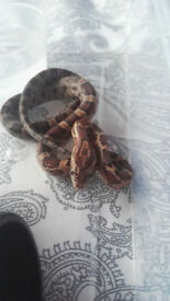 14 month old Corn snakes for sale.