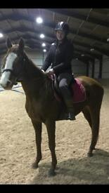 15.2hh 14 year old TB mare