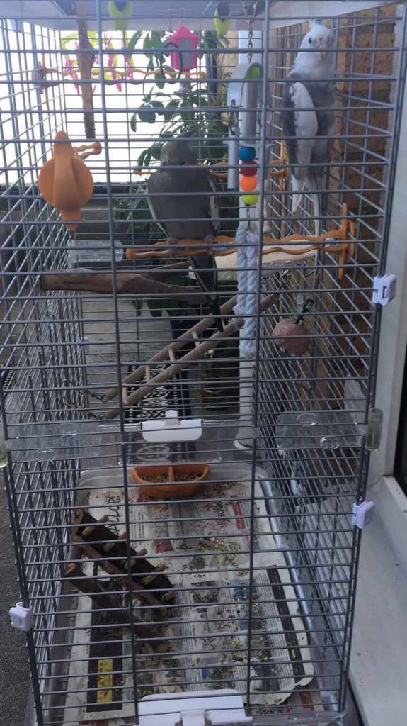 Cockotail birds