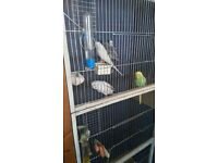 3 Baby Budgies for sale. (£24.00 each)