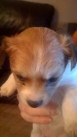 Male Chihuahua X Jack Russell Pups