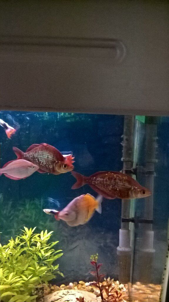 red rainbow tropical fish male and female in bordon hampshire