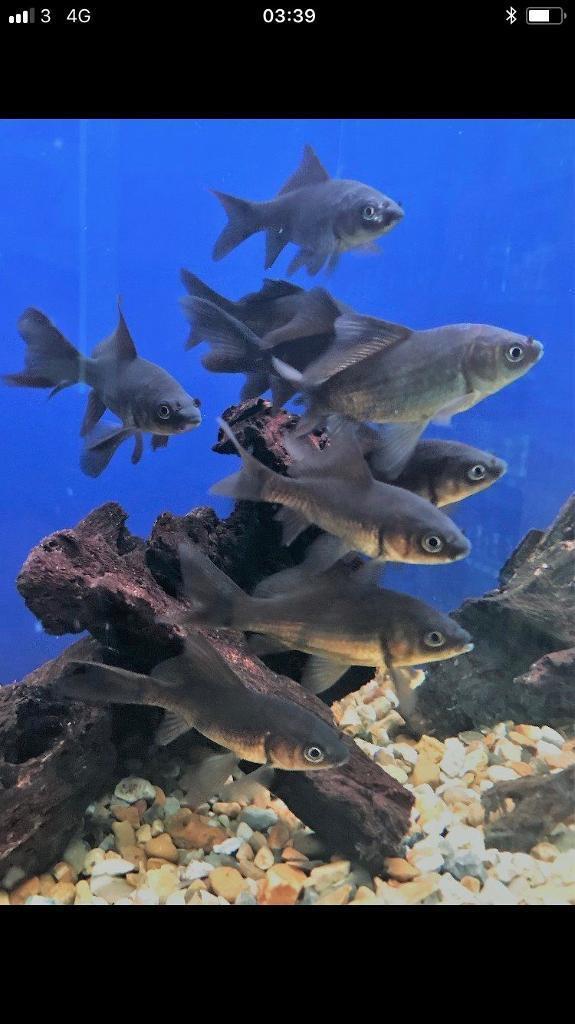 4 x black comet fish size 15cm , pond , aquarium cold water | in  Basingstoke, Hampshire | Gumtree