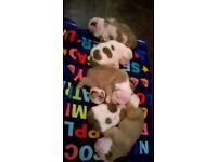 stunning chunky English bulldog puppies