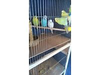 7 Budgies and 2 Canaries for sale. £24 each