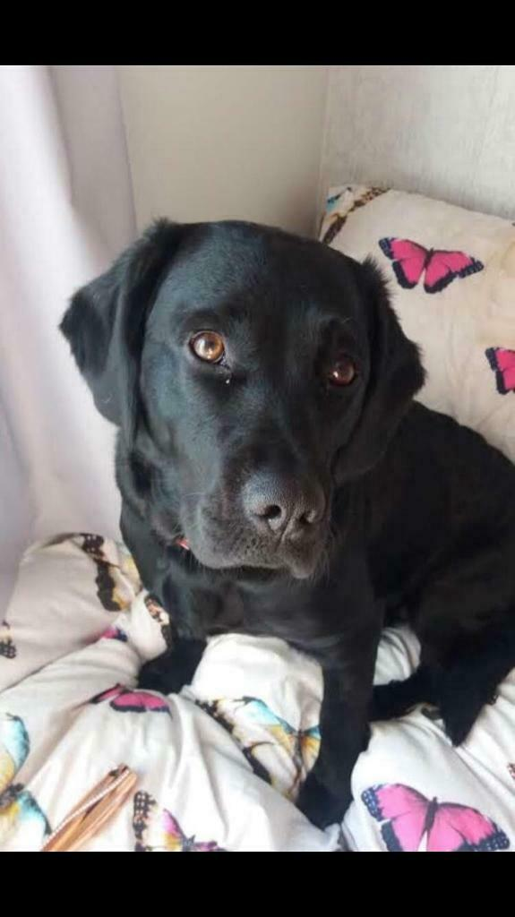Pet Dog For Sale In Blairgowrie Perth And Kinross Gumtree