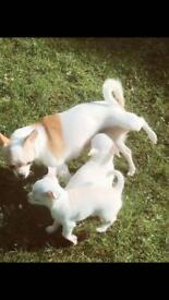 Two Beautiful Full Pedigree chihuahua, short hair, white and tan. Boy & girl looking for good home.