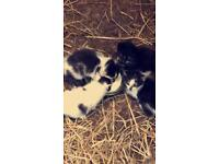 4 kittens free to good home