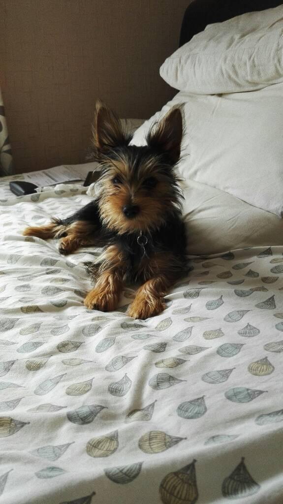 Yorkshire terror pup