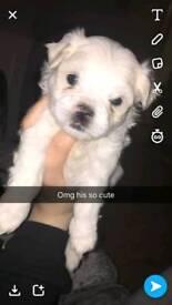 Maltese x shitzu puppies