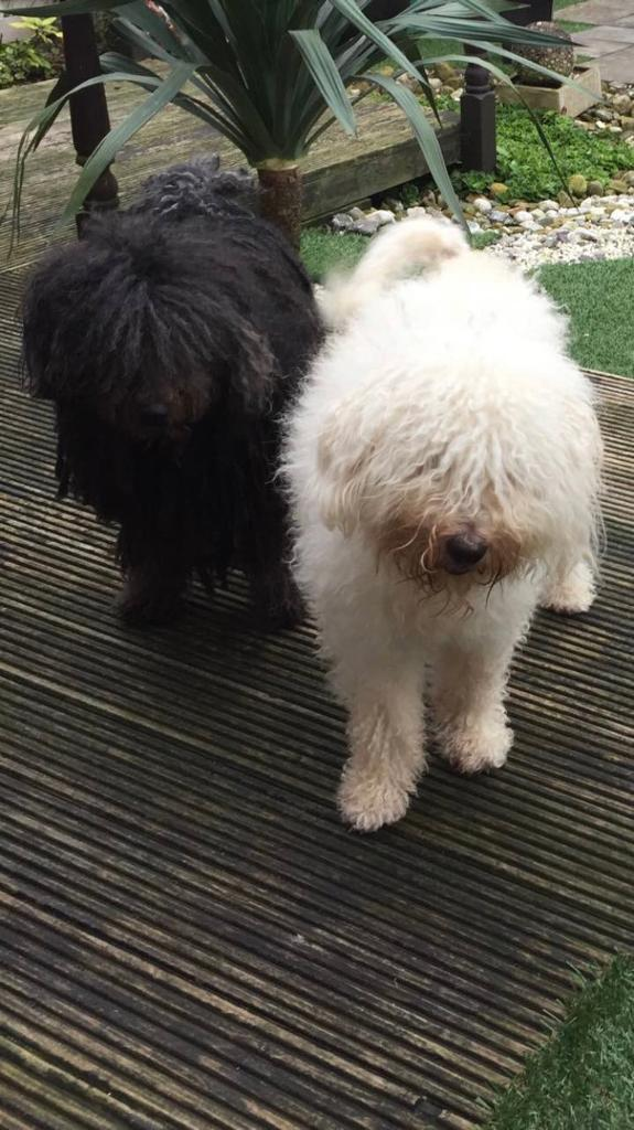 Hungarian Puli Puppies For Sale In Clayton Manchester Gumtree