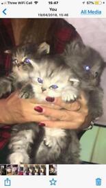 Half silver point kittens