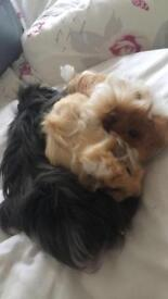 3 male Guinea Pigs and accessories