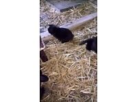 3 baby black rabbits