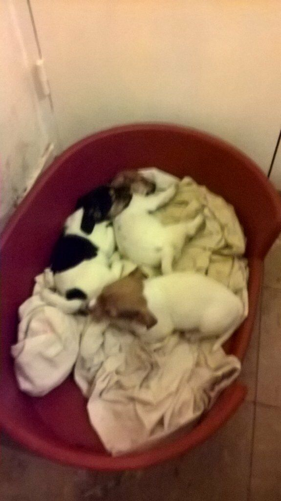 jack Russell x mini yorkie puppies.