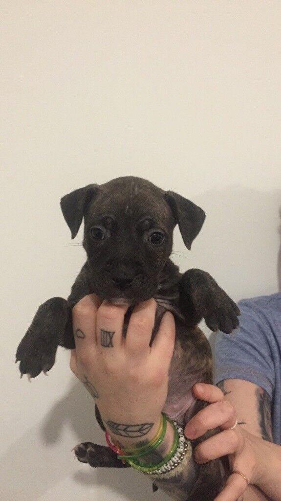 1 Adorable Staffie puppy