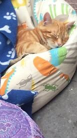 Simba beautiful ginger male cat needs a loving home