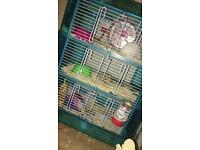 2 male russian dwarf hamsters