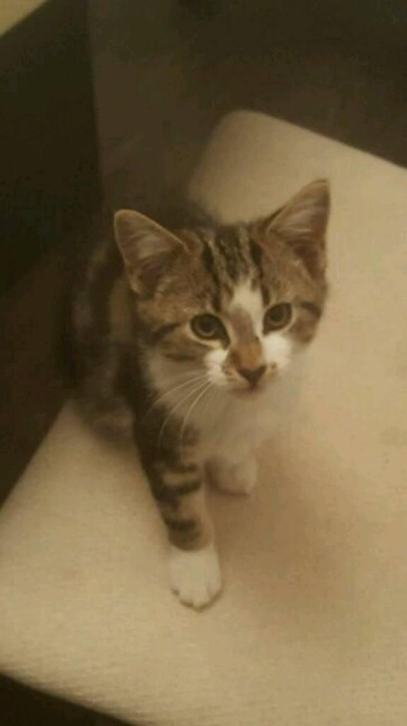 16 weeks old female kitten GORGEOUS