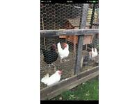Chickens £10 each bargain healthy lay eggs