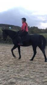 16h Standardbred horse