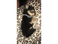 pomeranian x chihuaua puppy for sale.