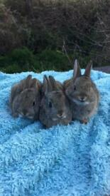 Mixed dwarf Netherlander rabbits