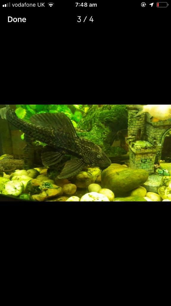 Bargain! Large Pleco for sale - tropical fish | in Grange Park, Wiltshire |  Gumtree