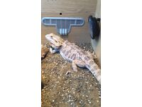 Bearded dragon and full set up